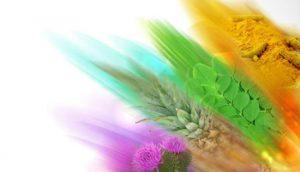 איור של עשבים צבעוניים, טיפול בגאוט